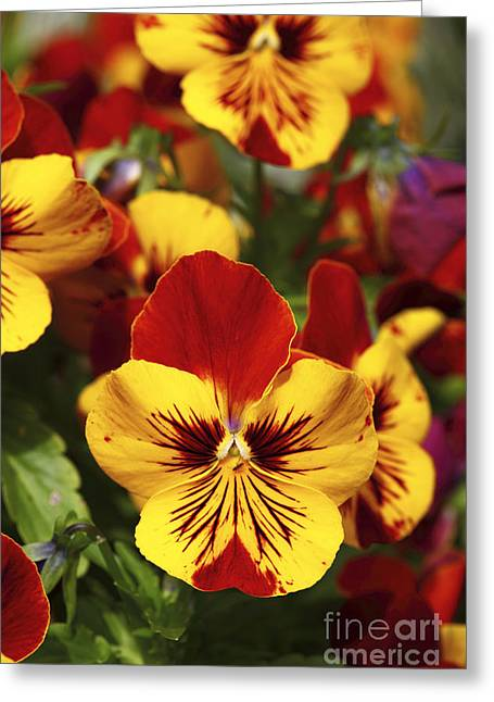 Viola Tricolor Greeting Cards - Pansy Portrait Greeting Card by James Brunker