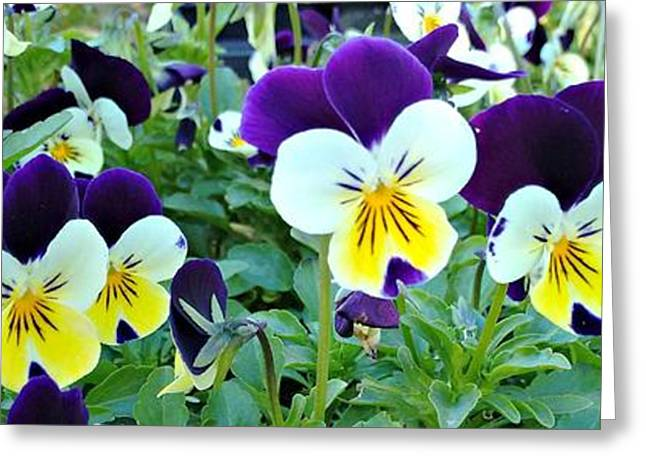 Johnny Jump Up Pansy Greeting Cards - Pansy Power Greeting Card by Linda Eversole