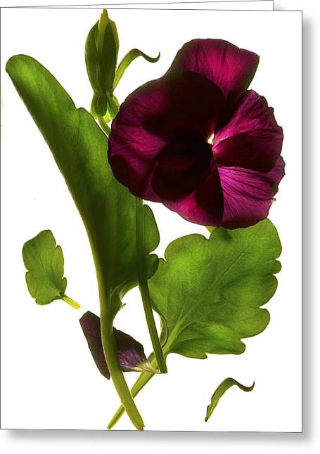 Pinks And Purple Petals Greeting Cards - Pansy Purple Greeting Card by Julia McLemore