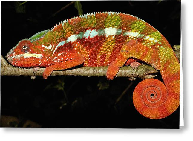 Forest Habitat Greeting Cards - Panther Chameleon Chamaeleo Pardalis Greeting Card by Pete Oxford