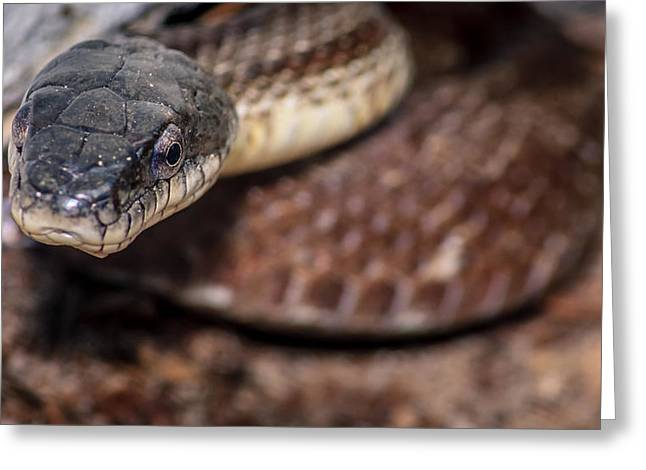 Sesquicentennial Greeting Cards - Pantherophis alleghaniensis Greeting Card by Rob Sellers