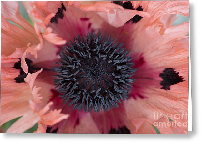 Papaver Orientale Greeting Cards - Papaver Orientale Pink Ruffles Greeting Card by Tim Gainey