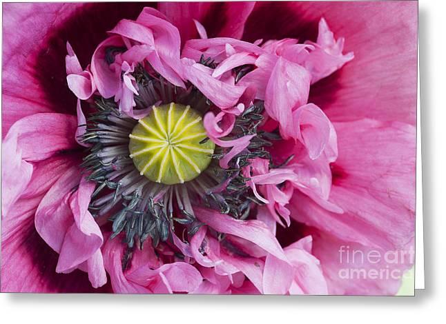 Pink Poppies Greeting Cards - Papaver Somniferum Pink  Greeting Card by Tim Gainey