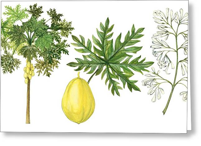 Fresh Green Drawings Greeting Cards - Papaya Greeting Card by Anonymous