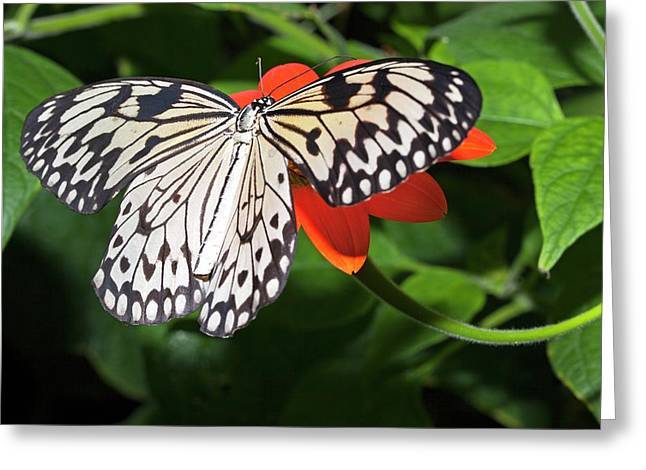 Paper Kite Butterfly Greeting Card by Dirk Wiersma