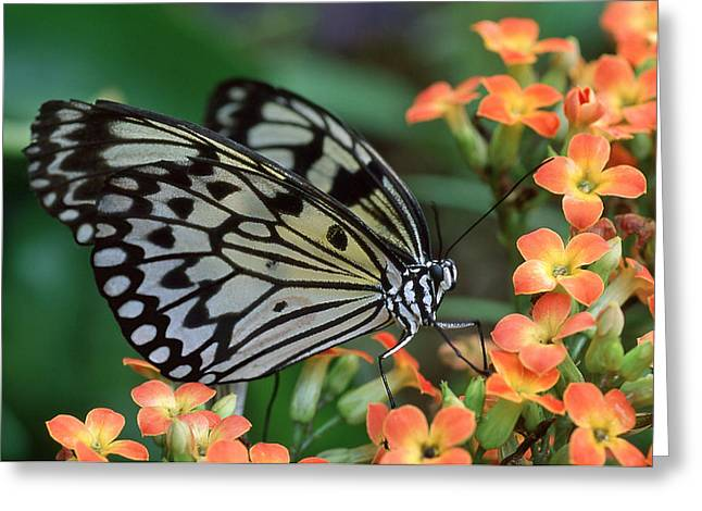 Kite Greeting Cards - Paper Kite Butterfly Greeting Card by Ginny Barklow
