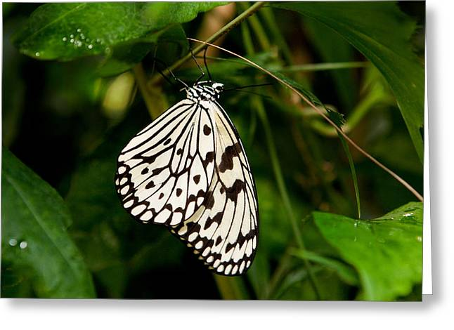 Kites Greeting Cards - Paper Kite Butterfly Greeting Card by James O Thompson