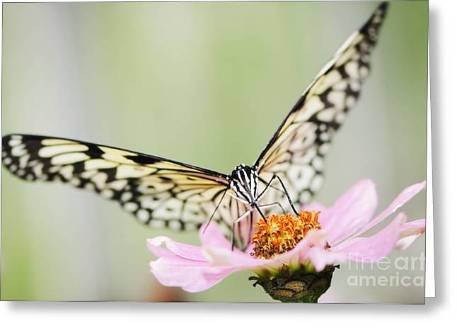 Paper Kite Butterfly On Zinnia Greeting Card by Oscar Gutierrez