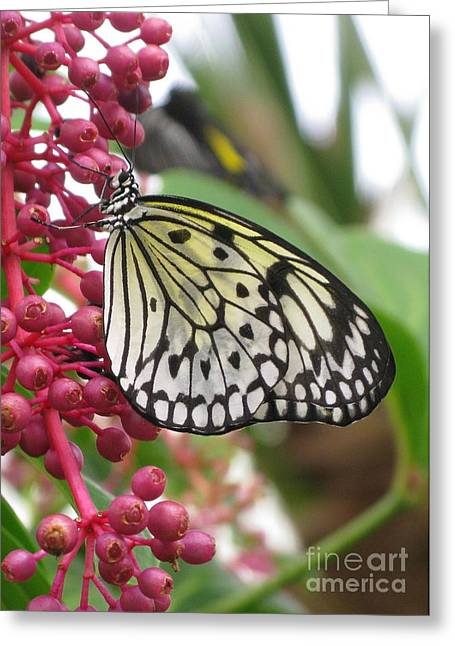 Eve Wheeler Greeting Cards - Paperkite Butterfly V-2 Greeting Card by Eve Wheeler