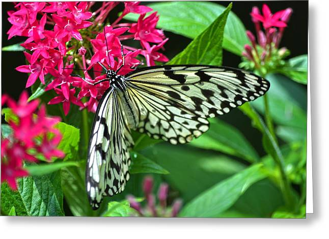 Kite Greeting Cards - Paper Kite On Frangipani Greeting Card by Sandi OReilly