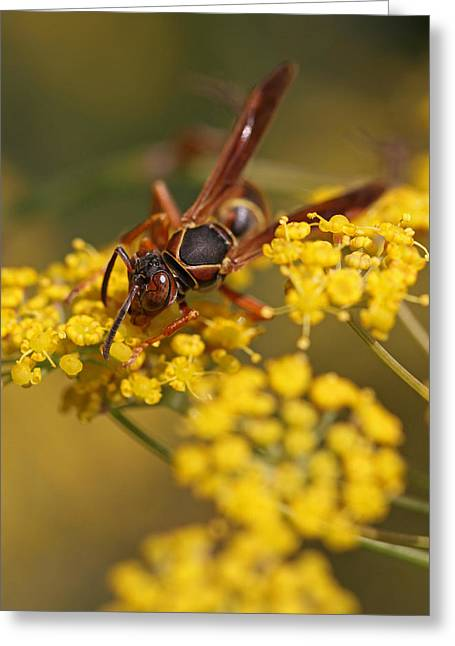 Gold Jacket Greeting Cards - Paper Wasp Greeting Card by Juergen Roth