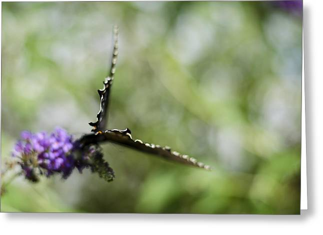Spicebush Swallowtail Greeting Cards - Papilio troilus Greeting Card by Heather Applegate