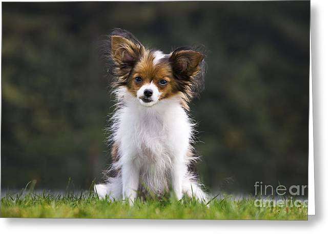 Papillon Dog Greeting Cards - Papillon Dog Greeting Card by Johan De Meester