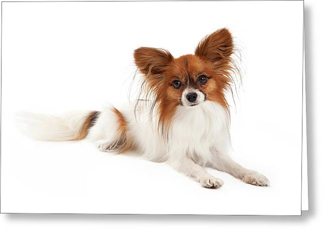 Spaniel Greeting Cards - Papillon Dog Laying  Greeting Card by Susan  Schmitz
