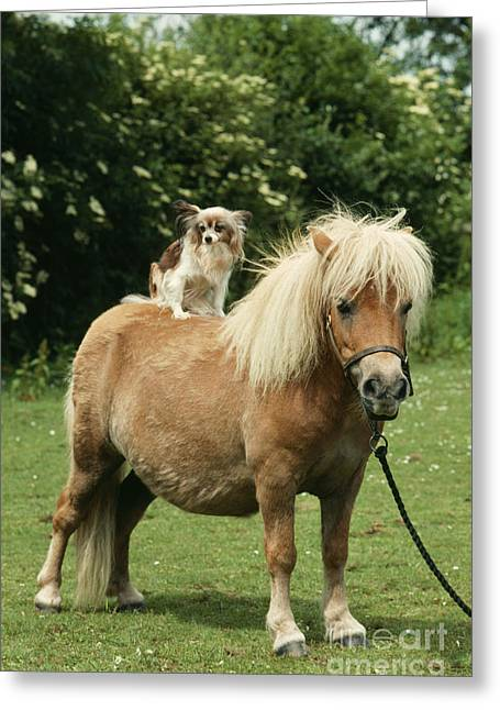 Papillon Dog Greeting Cards - Papillon Riding Shetland Pony Greeting Card by John Daniels