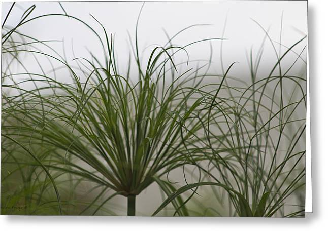 Garden Scene Greeting Cards - Papyrus In The Fog  Greeting Card by Sandra Foster