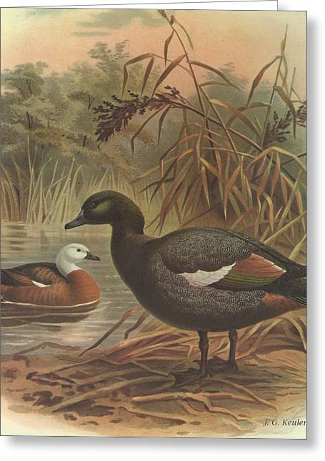 Audubon Greeting Cards - Paradise Duck Greeting Card by J G Keulemans