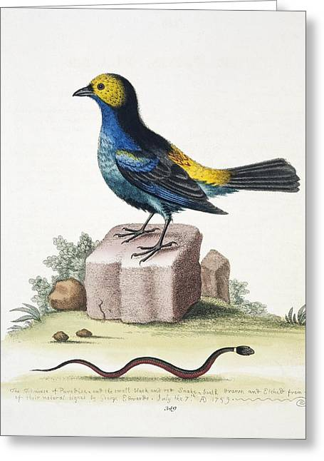 Coloured Plumage Greeting Cards - Paradise tanager, 18th century Greeting Card by Science Photo Library