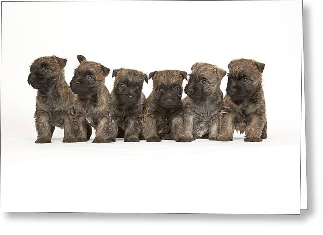 Litter Mates Greeting Cards - Paragons Sixpence Greeting Card by Heidi Marcinik