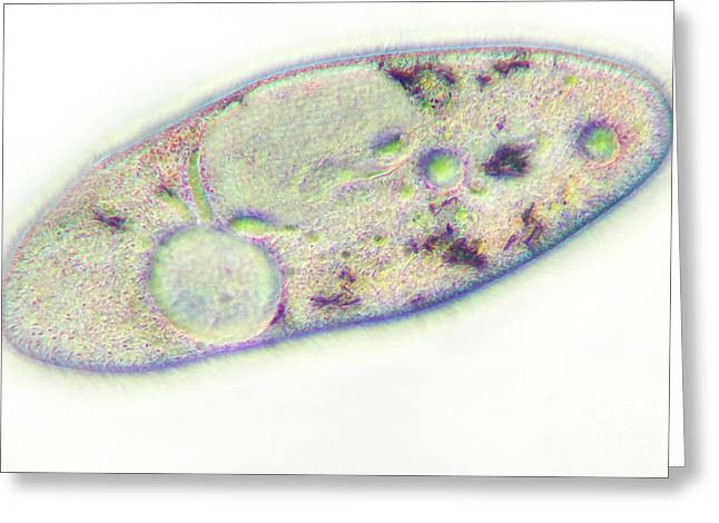 Unicellular Greeting Cards - Paramecium Greeting Card by Kent Wood