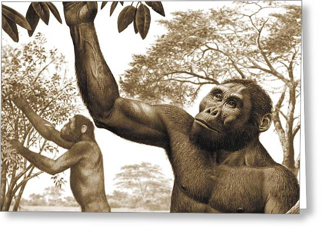 Picking Greeting Cards - Paranthropus aethiopicus, artwork Greeting Card by Science Photo Library