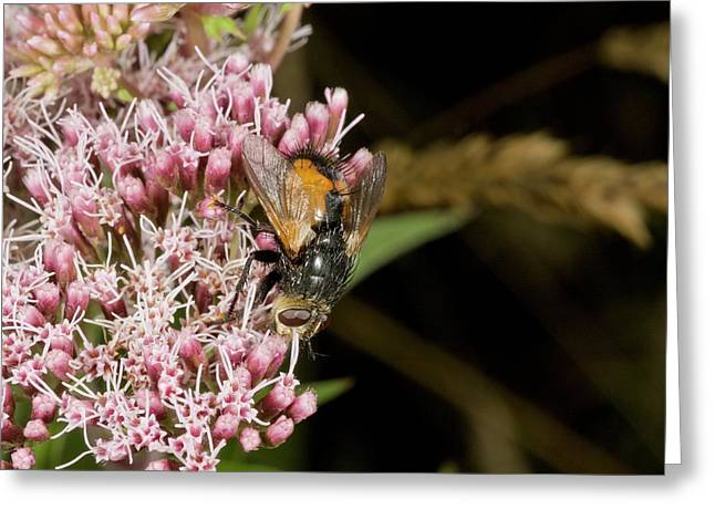 Parasitic Fly Feeding On Flowers Greeting Card by Bob Gibbons