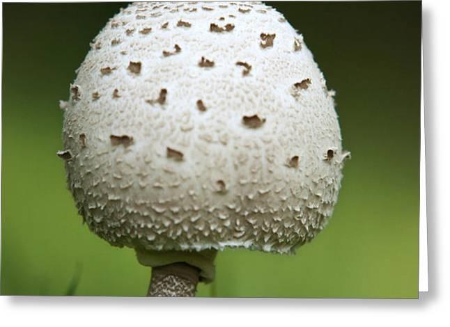 Parasol Mushroom Greeting Card by Christina Rollo