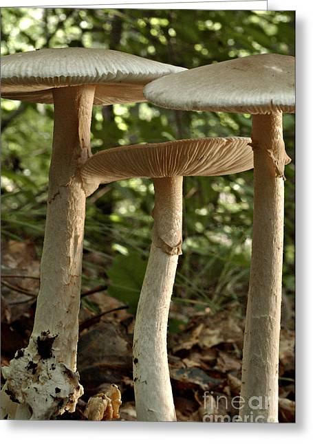 Parasol Mushrooms Macrolepiota Sp Greeting Card by Susan Leavines