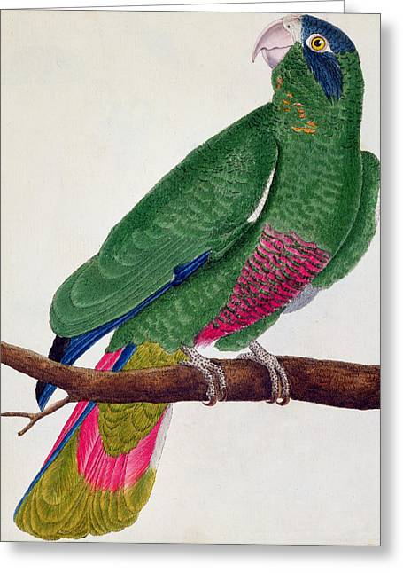 Francois Greeting Cards - Parrot Greeting Card by Francois Nicolas Martinet