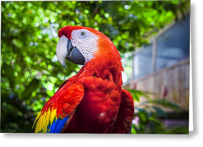 Scarlet Macaw Greeting Cards - Parrot of Two Worlds - Scarlet Macaw Greeting Card by Mark Tisdale