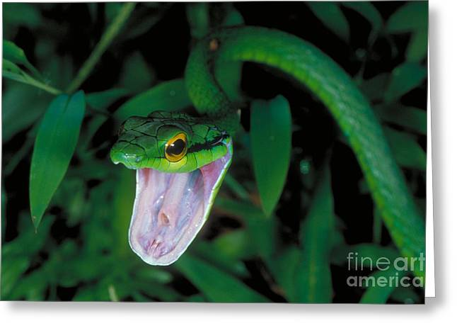 Rican Greeting Cards - Parrot Snake Greeting Card by Gregory G. Dimijian