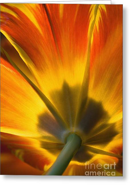 Backlit Greeting Cards - Parrot Tulip - D008405 Greeting Card by Daniel Dempster