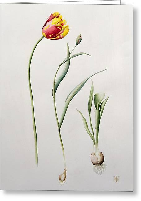 Botanical Greeting Cards - Parrot Tulip Greeting Card by Iona Hordern