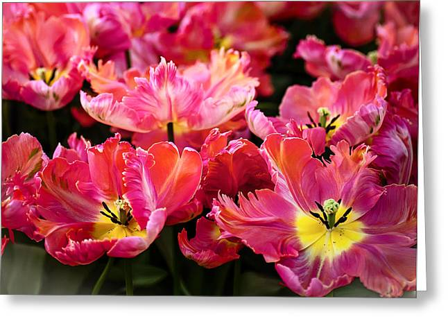 Crazing Greeting Cards - Parrot Tulips. The Tulips of Holland Greeting Card by Jenny Rainbow