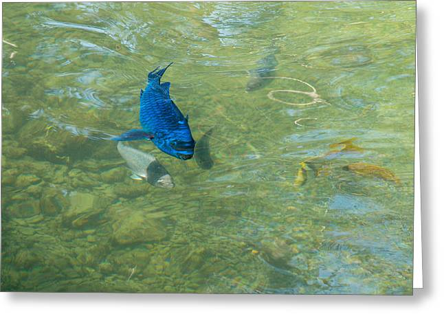 Parrotfish on a Swim Greeting Card by John Bailey