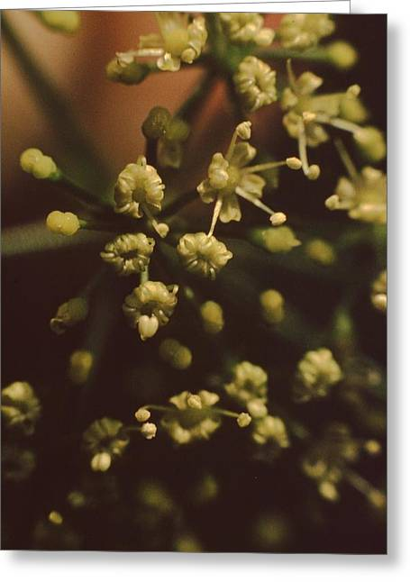 Easter Images Greeting Cards - Parsley Flower Greeting Card by Retro Images Archive