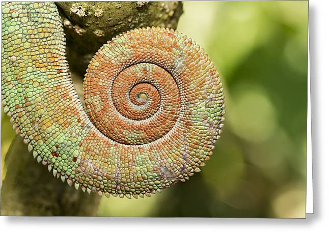 Madagascar National Park Greeting Cards - Parsons Chameleon Coiled Tail Madagascar Greeting Card by Konrad Wothe