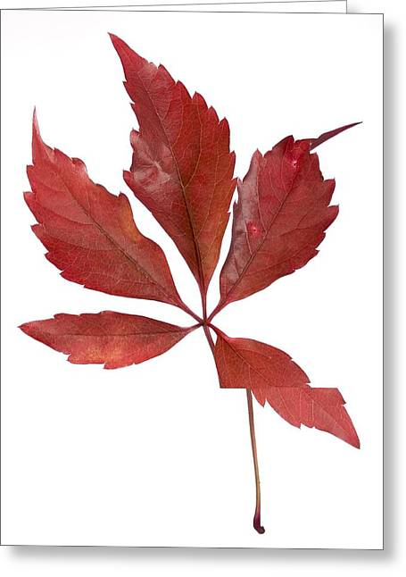 North American Vine Greeting Cards - Parthenocissus quinquefolia leaf Greeting Card by Science Photo Library