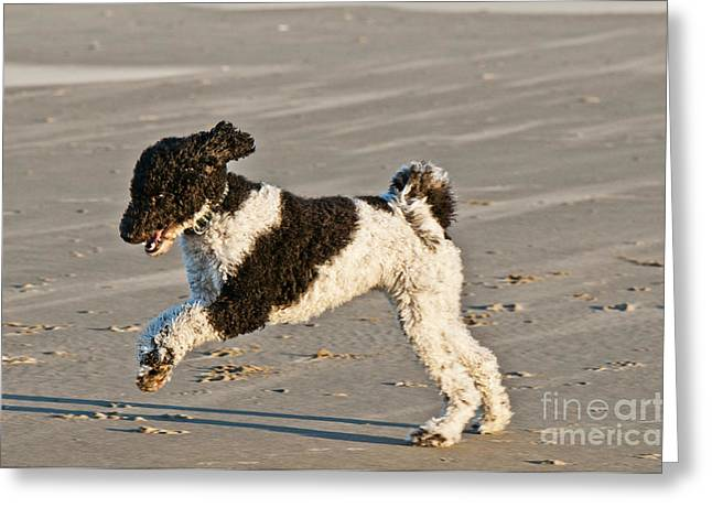 Dog Play Beach Greeting Cards - Parti Poodle Running On Beach Greeting Card by William H. Mullins