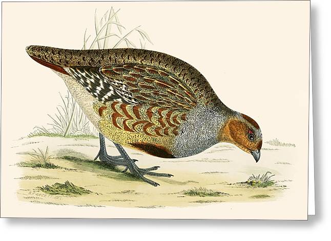 Hunting Bird Photographs Greeting Cards - Partridge Greeting Card by Beverley R. Morris