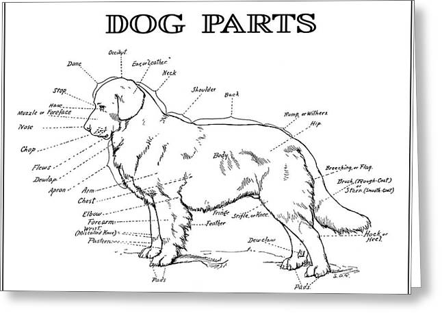 Old Labrador Greeting Cards - PARTS of a DOG 2 -- 1919 Greeting Card by Daniel Hagerman