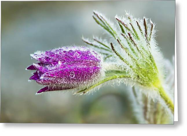 Pulsatilla Vulgaris Greeting Cards - Pasque flower Greeting Card by Mircea Costina Photography