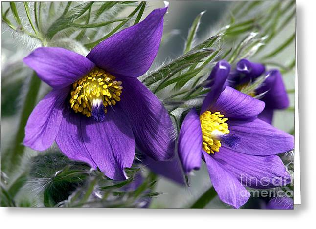 Anenome Greeting Cards - Pasque Flower Greeting Card by Sharon  Talson