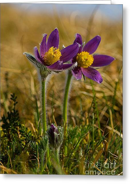 Pulsatilla Vulgaris Greeting Cards - Pasque Flowers Greeting Card by Steen Drozd Lund