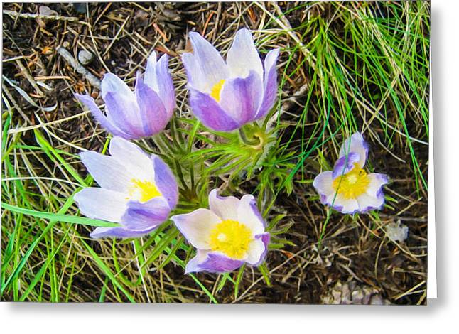 Closeup Greeting Cards - Pasque Wild Flower Group in Springtime Greeting Card by Lanjee Chee