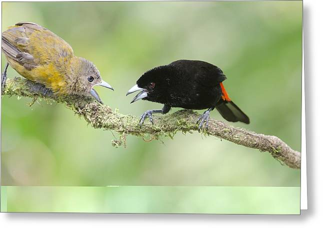 Neotropics Greeting Cards - Passerinis tanager pair Greeting Card by Science Photo Library