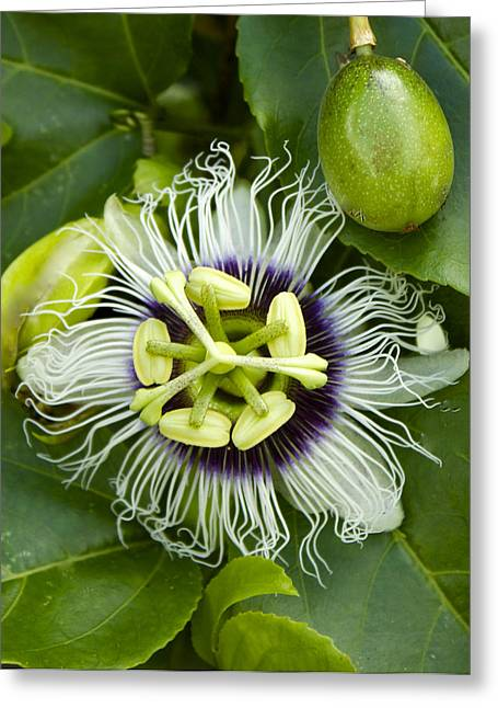 Passiflora Edulis With Fruit Greeting Card by Venetia Featherstone-Witty