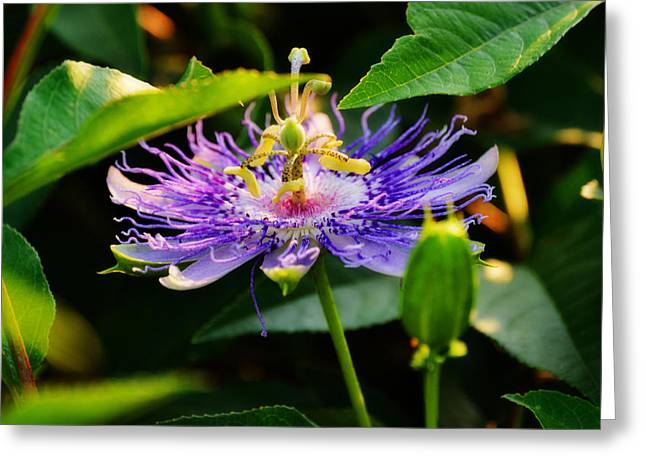 Passiflora Greeting Cards - Passiflora Incarnata Greeting Card by Adam LeCroy