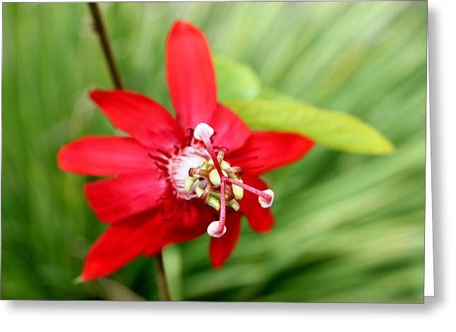 Passion Fruit Greeting Cards - Passiflora Greeting Card by Karinna Marvill