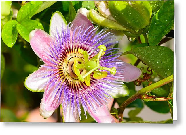 Passionflower Greeting Cards - Passiflora Greeting Card by Olga Hamilton